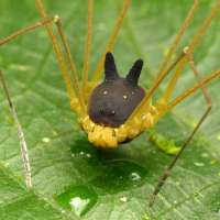 L'araignée qui porte un masque!