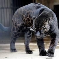 La souffrance ignorée des animaux hybrides