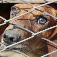 Fermeture d'une 14e usine à viande de chiens en Corée du sud
