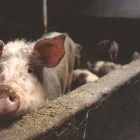Neuf produits insoupçonnés du quotidien à base de porc et de substances animales!