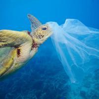 Toutes les tortues de mer mangent du plastique!