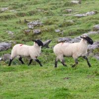 Espagne: un chien de berger suit le camion qui transporte son troupeau de moutons à l'abattoir...