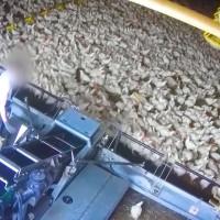 Enquête choc: des poulets ramassés à la moissonneuse, la nouvelle vidéo de L214