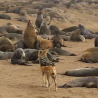 Namibie: le plus grand massacre d'otaries au monde, passé sous silence