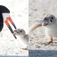 L'image virale d'un oiseau qui nourrit son bébé avec un mégot de cigarette sur une plage en Floride