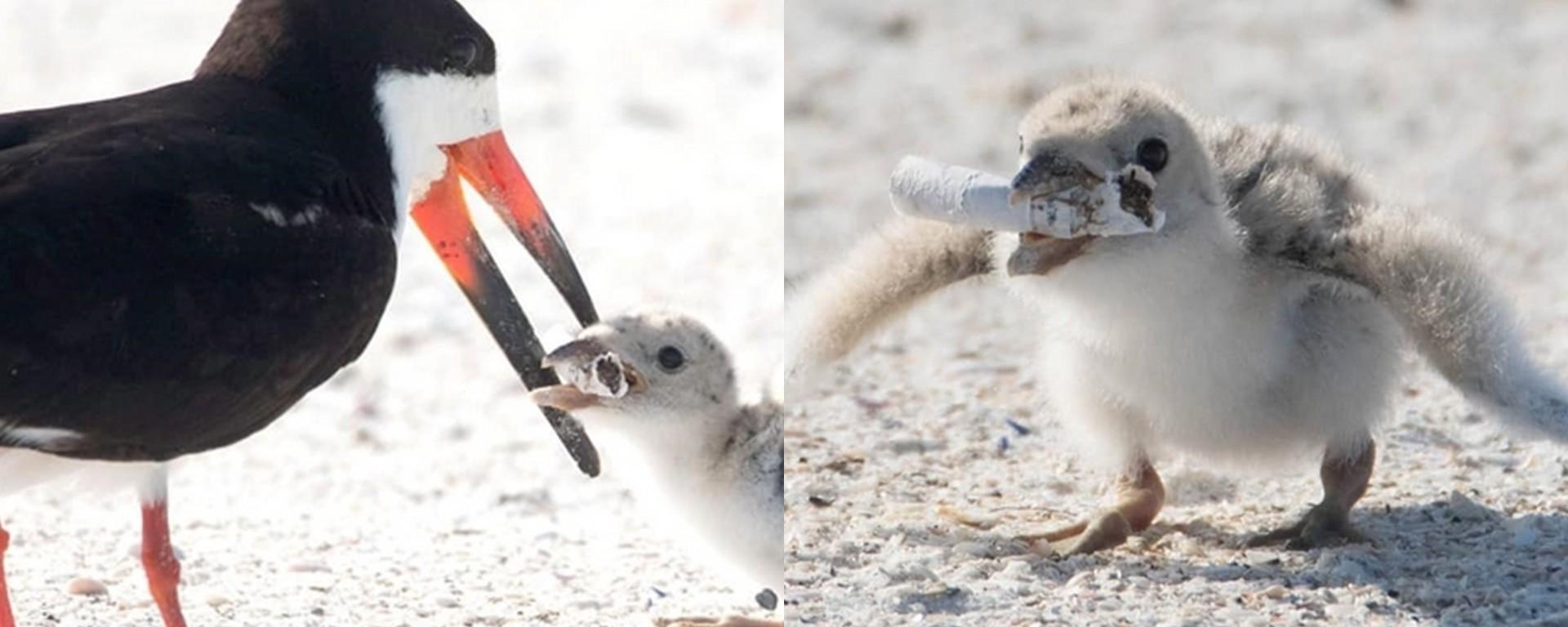 L'image virale d'un oiseau qui nourrit son bébé avec un mégot de ...
