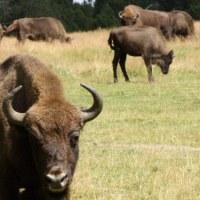 Haute Savoie: qu'est-il arrivé aux 19 bisons échappés?