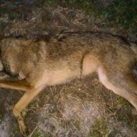 États-Unis: les bombes de cyanure de nouveau autorisées pour tuer les animaux