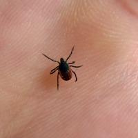Réchauffement climatique et maladie de Lyme: